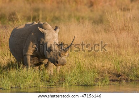 lone rhino - stock photo