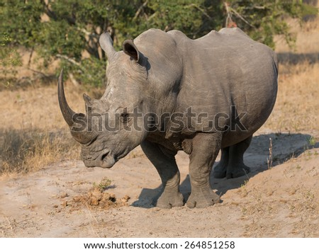 Lone rhino standing on a open area looking for safety from poachers