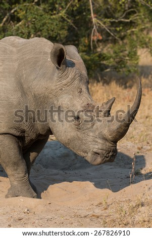 Lone rhino standing on a open area looking for safety from poachers - stock photo