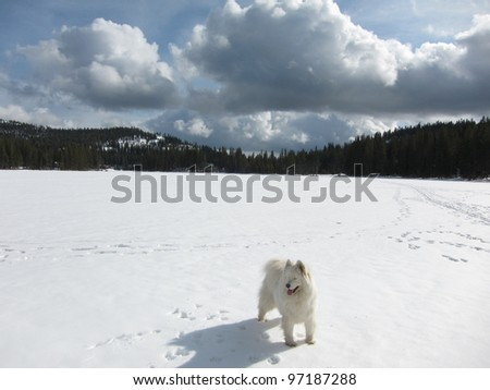 Lone Samoyed on snowy Lake Serena at Serene Lakes in the California Sierra Nevada mountains - stock photo
