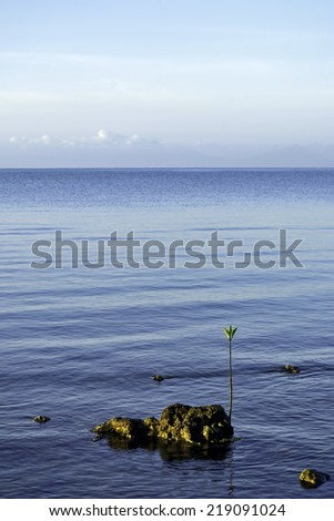 Lone sea mangrove seedling along a Philippine coast - stock photo