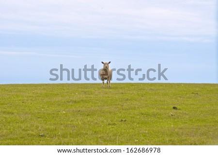 Lone Sheep - stock photo