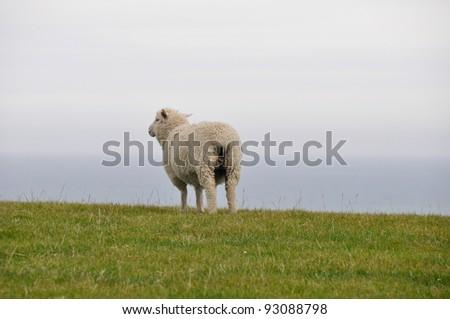 Lone sheep, New Zealand - stock photo