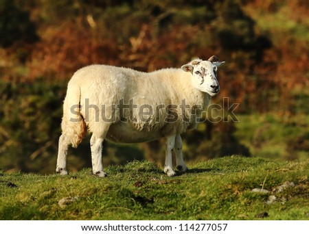 Lone Sheep standing in a field