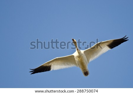 Lone Snow Goose Flying in a Blue Sky - stock photo