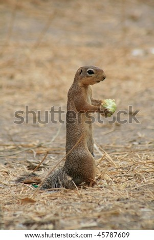Lone squirrel feeding while on lookout - stock photo