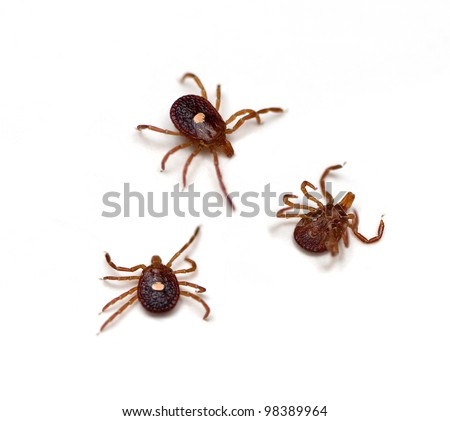 Lone Star Ticks (Amblyomma americanum) - stock photo