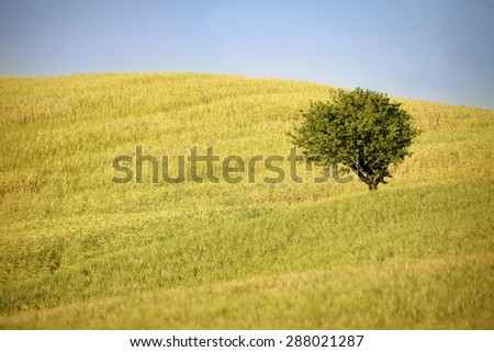 Lone tree in the summer wheat field. Tuscany, Italy