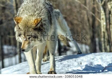 Lone wolf - stock photo