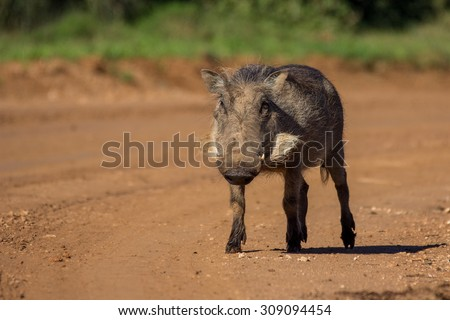 Lone young warthog walking on dirt road in Addo Elephant Park South Africa