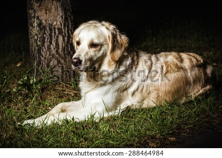 lonely abandoned golden retriever laying on the ground - stock photo
