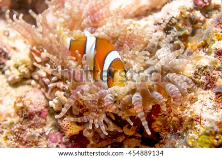 Lonely Anemone Fish in Raja Ampat - stock photo