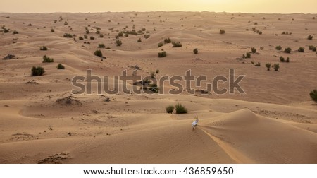 Lonely Arabian Oryx in the Al Maha desert seen from a balloon safari, Dubai, United Arab Emirates