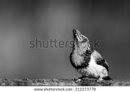 Lonely barbet sitting at edge of quiet pond, black and white - stock photo