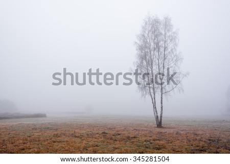 Lonely birch tree on a misty autumn morning