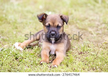 Lonely Boxer mix puppy lying in the grass