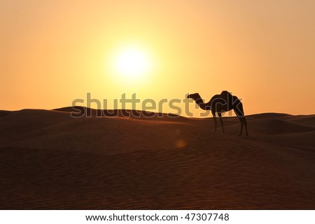Lonely Camel Standing In An Evening Desert Sun - stock photo