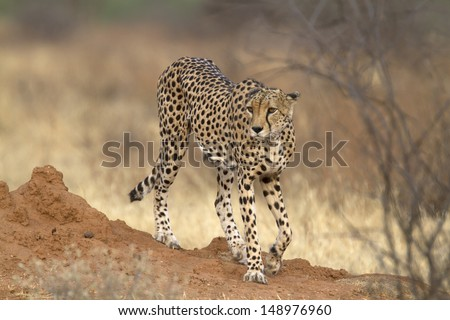 Lonely cheetah walking and staring left - stock photo