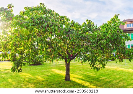 Lonely cherry tree with berries on the backyard - stock photo