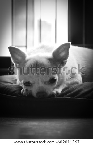 lonely chi hua hua dog sleep on the cushion with sad looking waiting for the owner