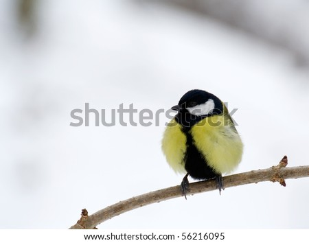 lonely chickadee - stock photo
