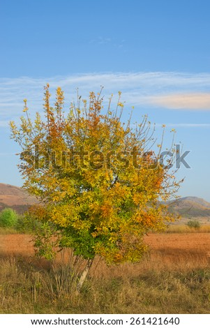 Lonely colorful tree during Autumn