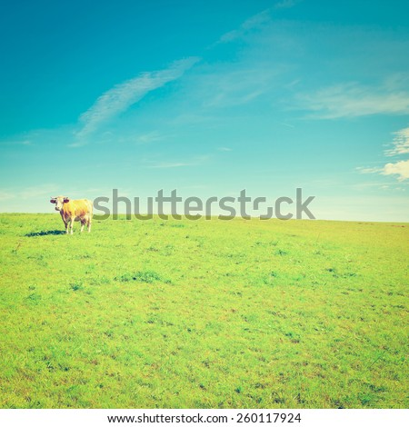 Lonely Cow Grazing on Pasture in Southern Bavaria, Germany, Instagram Effect - stock photo