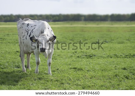 Lonely Cow on Pasture in the Netherlands - stock photo