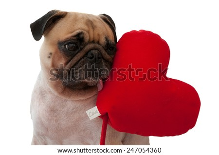 Lonely cute Pug isolated with heart on white background. - stock photo