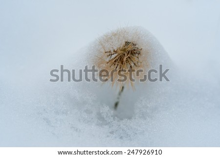 Lonely dandelion covered with layer of first snow.  - stock photo