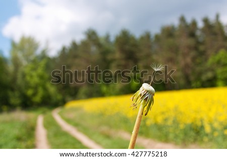 Lonely dandelion seed close up in front of the rural road