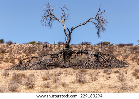 Lonely dead tree in an arid landscape, Kgalagadi Transfrontier Park, Botswana, true wildlife - stock photo