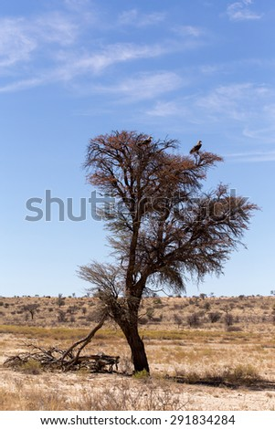 Lonely dead tree with eagle landscape in kgalagadi transfontier park - stock photo
