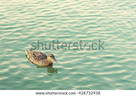 Lonely duck in the sea. Duck against the turquoise sea - stock photo