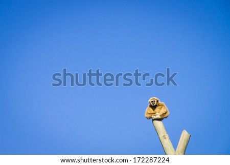 lonely gibbon: a single gibbon (ape) sits on a pole with serious face - stock photo