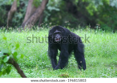 Lonely gorilla wondering in the forest