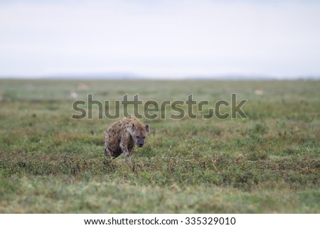 Lonely hyena walking in the african savannah - stock photo