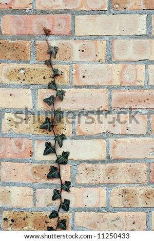 lonely ivy vine on brick wall