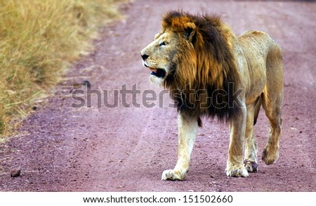 lonely lion walking in a national park hunting for a kill - stock photo