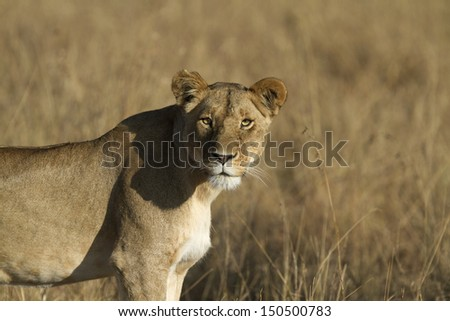 Lonely lioness in the evening sun