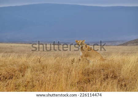 Lonely lioness sitting on the African savanna in the Serengeti Park (Tanzania) - stock photo