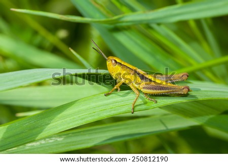 Lonely little grasshopper in a green jungle - stock photo