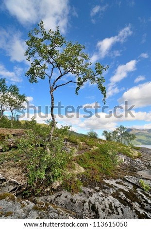 Lonely northern birch growing on the rocks