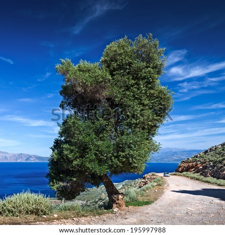 Lonely Olive tree by the sea. - stock photo