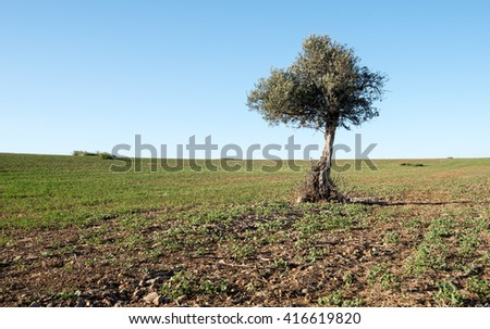 Lonely olive tree on a  wheat field with blue clear sky