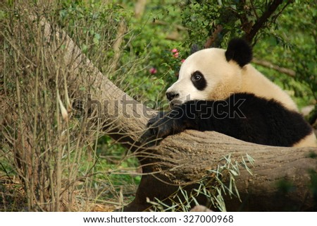 Lonely panda holding a trunk