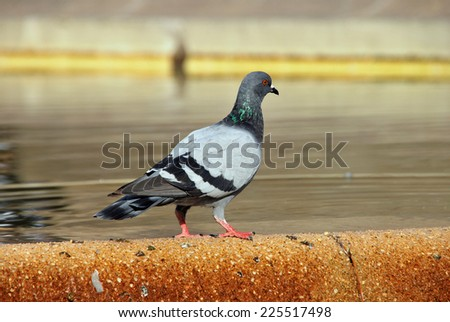 Lonely pigeon on a fountain. Domestic bird - stock photo
