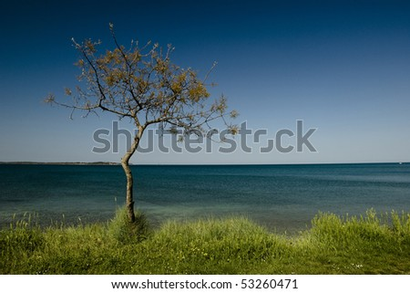 Lonely pine tree at the seaside