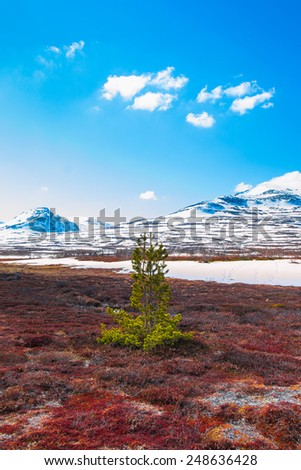 lonely pine tree on a bog with mountains in the background a beautiful spring day in Sweden - stock photo
