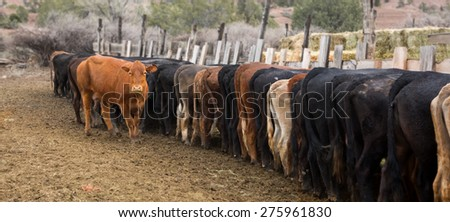 Lonely red cow on the background of backsides of other cows. America, Utah - stock photo
